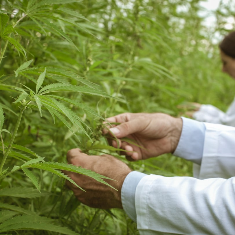 researchers-collecting-hemp-plant-samples-in-the-G3TY6CA-min