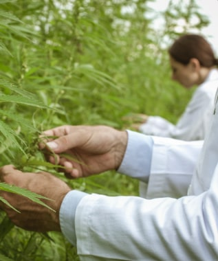 researchers-collecting-hemp-plant-samples-in-the-G3TY6CA1-min