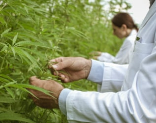 researchers-collecting-hemp-plant-samples-in-the-G3TY6CA2-min