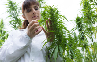 scientist-checking-hemp-flowers-PSS7R6U-mob